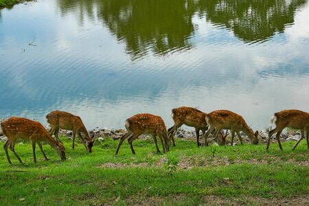 group of sika deer in Nara city,Japan Stock Photo