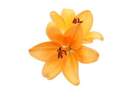 flower head of lily in a white background Stock Photo