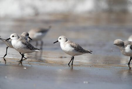 group of sandpiper on the beach