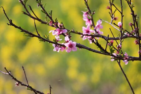 peach trees blossom in a rape flower background