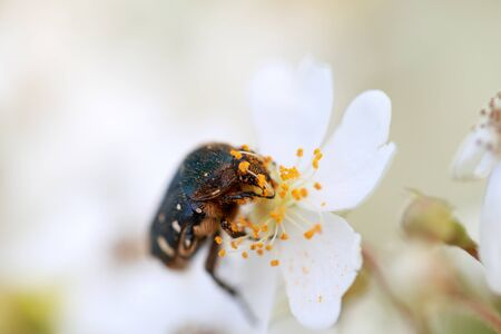 a flower chafer on the wild rose