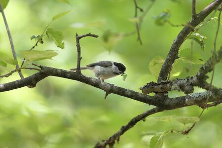 a willow tit on a branch of tree eating a caterpillar