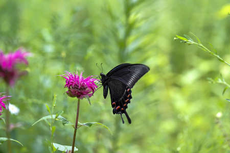 crow swallowtail swallowing the nectar of monarda