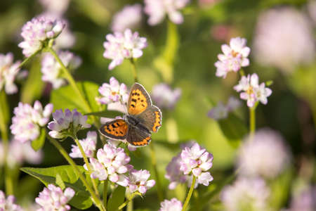 a small copper on the flower of water pepper
