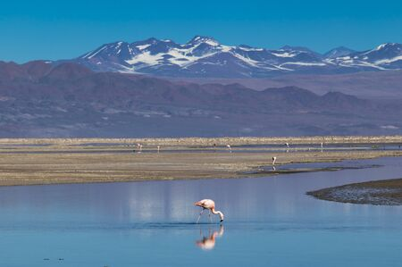 Flamingo seeking food in salt lake in Atacama of Chile