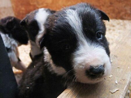 Border Collie pups playing in a box with sawdust bedding