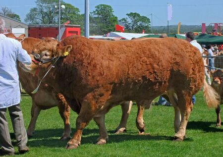 bulls at an agricultural show with blue sky for text copy Imagens