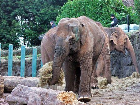 Elephants eating in Belfast zoo Northern Ireland Stock Photo
