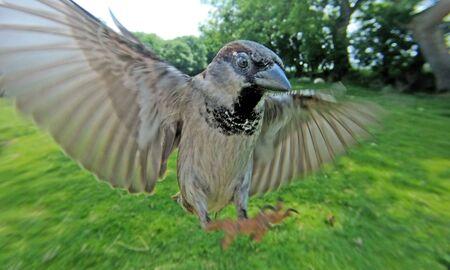 House Sparrow feeding at a seed feeder at bird table