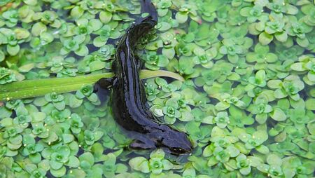 Nute in water in a pond in Northern Ireland