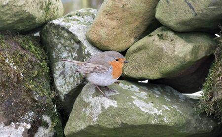 Robin in snow in Ireland