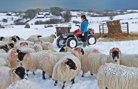 Sheep standing in snow in Ireland