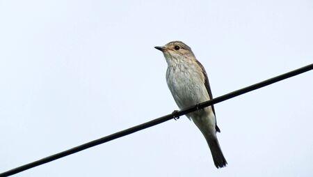 Spotted flycatcher in Ireland