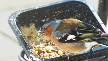 The common chaffinch feeding from ground in Northern Ireland
