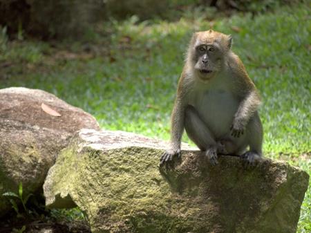 Wild Adult Macaque Monkey photo