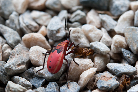 species living: Red cotton bug on rock ground Stock Photo