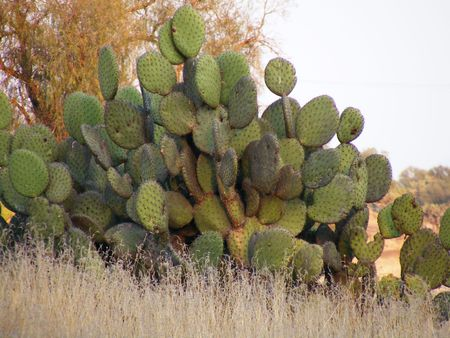 named: picture of native cactus to mexico named nopal