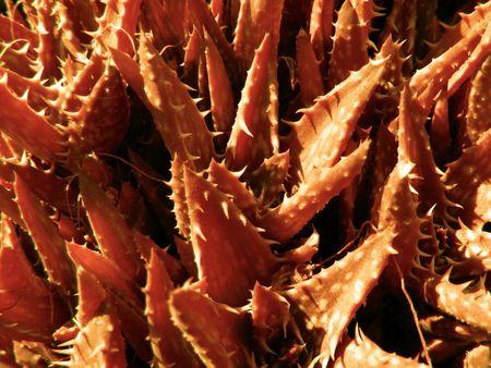 picture of aloe plants