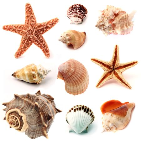 isolated conchs, seashells and starfish, including