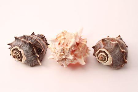 murex shell: three beauty seashells, two