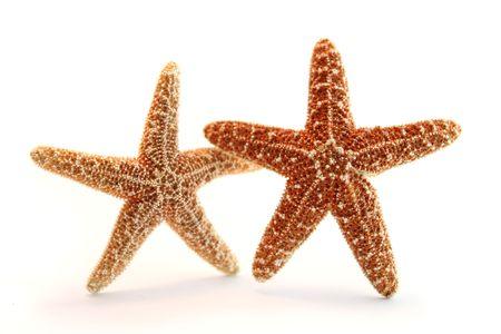 stella marina: due stelle marine Pisaster ochraceous su sfondo bianco