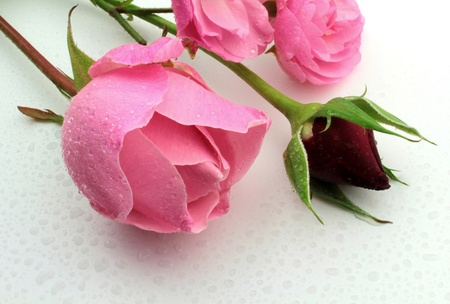 rose coloured: Roses an waterdrops
