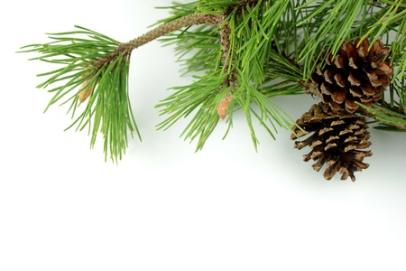 Pine Zweig und Kegel auf weißem Hintergrund