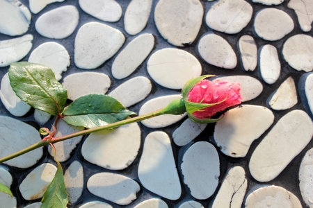 Rose bud on pebbles wall photo