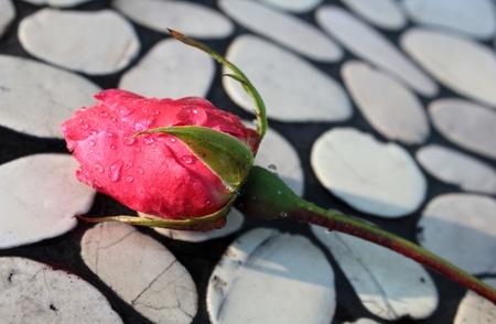 rose bud: Rose bocciolo