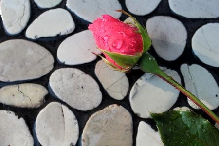 rose bud: Rose gemma sulla parete ciottoli Archivio Fotografico