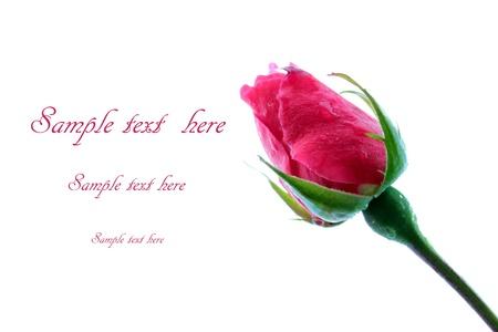 rose bud: Bocciolo di rosa su sfondo bianco Archivio Fotografico