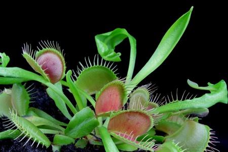 venus: Carnivorous plant. Venus flytrap ( Dionaea muscipula ) Stock Photo