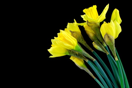 Daffodil, narcissus on black background  photo