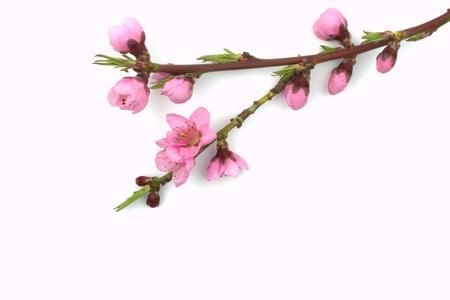 flor de durazno: Primavera Foto de archivo