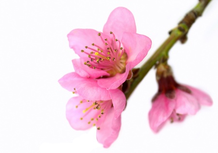 Springtime   Pink,  peach flowers 写真素材