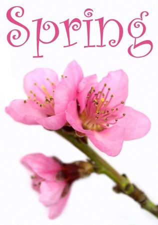 flor de durazno: De color rosa, flores de primavera