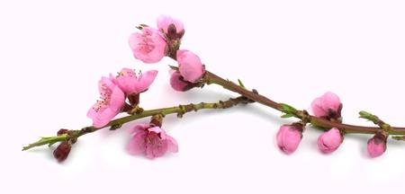 Peach flower: Peach flowers branch Kho ảnh