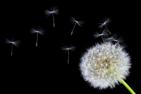 タンポポの花と黒の背景に飛んで種子 写真素材 - 13638335