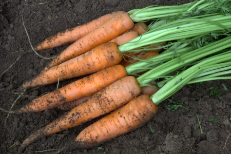 New harvest fresh organic carrots photo