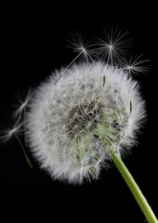黒の背景にタンポポの花 写真素材 - 14192129