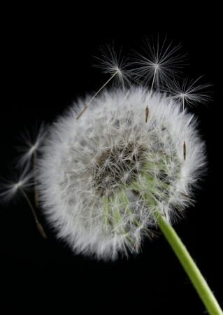 Dandelion flower on black background photo