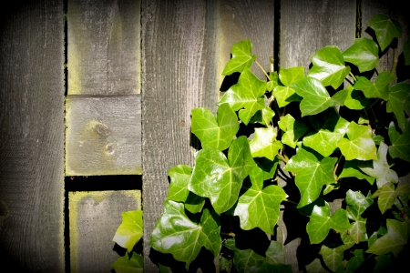 Green Ivy leaves over old plank as background Stock Photo - 15108957