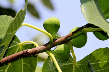 fig tree: Figs on the branch