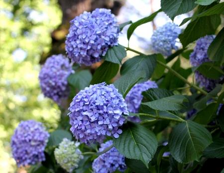 Blue Ortensia Hydrangea