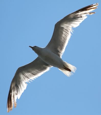 sea gull: Gull flying in the blue sky