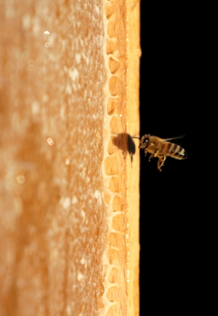 Bee and honeycomb photo