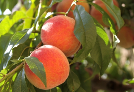 Fresh and ripe  peaches on a branch with green leaves photo