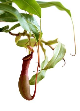 食虫植物嚢状葉植物ウツボカズラ rafflesiana 写真素材