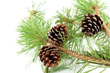 pine tree needles: Pine branch and cones on white background