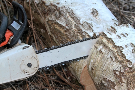 timber harvesting: Cutting tree with chainsaw  Stock Photo